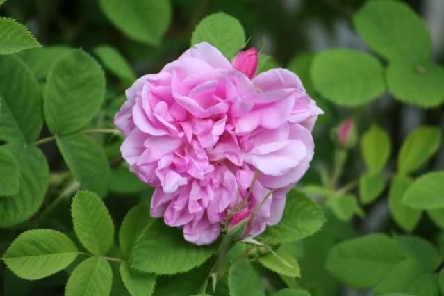 Aiutiamo a fiorire la rosa (siriana)